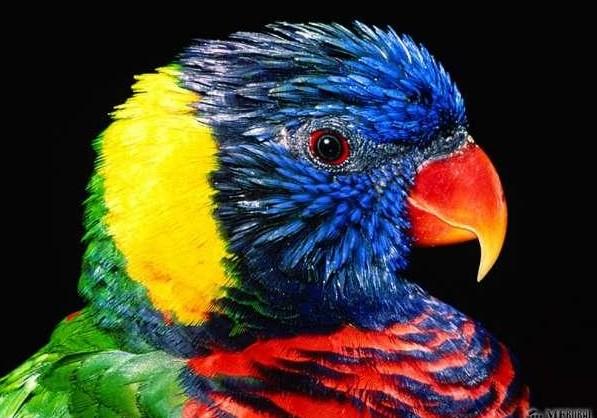 -papagaios